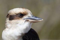 Laughing Kookaburra, Dacelo novaeguineae Stock Images
