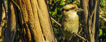 Laughing Kookaburra Dacelo novaeguineae Halcyonidae 2. Laughing Kookaburra Dacelo novaeguineae Halcyonidae in a tree is a native bird of eastern Australia Royalty Free Stock Photos