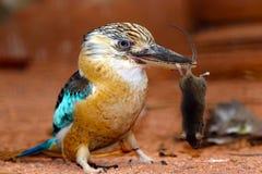 Blue-winged kookaburra is holding a captured dead mouse in its beak. Blue-winged kookaburra dacelo leachii is holding a captured dead mouse in its beak Royalty Free Stock Photo