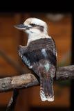 Laughing kookaburra Dacelo novaeguineae. Wild life animal Stock Images