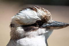 Laughing kookaburra  - Dacelo novaeguineae Stock Image
