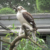 Laughing kookaburra Dacelo novaeguineae Royalty Free Stock Photos