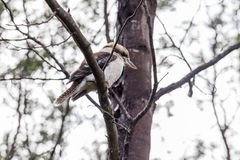 Laughing kookaburra Dacelo novaeguineae sitting on a tree branch. Side profile view Stock Photos