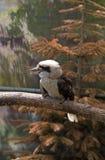 Laughing kookaburra (Dacelo novaeguineae) Stock Images