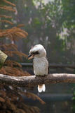 Laughing kookaburra (Dacelo novaeguineae) Royalty Free Stock Photo
