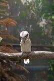 Laughing kookaburra (Dacelo novaeguineae) Stock Image