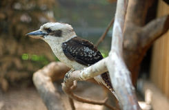 Laughing kookaburra (Dacelo novaeguineae). Sitting on a tree, close up Royalty Free Stock Images