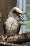 Laughing kookaburra (Dacelo novaeguineae) Stock Photo