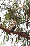Laughing Kookaburra (Dacelo novaeguineae). Sitting on a tree on Phillip Island, Victoria, Australia Royalty Free Stock Photography