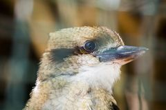 Laughing kookaburra Dacelo novaeguineae. Spotted outdoors Royalty Free Stock Image