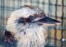 Laughing kookaburra Dacelo novaeguineae. Spotted outdoors Stock Images