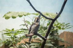Laughing kookaburra Dacelo novaeguineae. Spotted outdoors in the wild Stock Photography