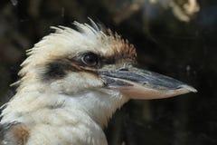 Laughing kookaburra (Dacelo novaeguineae). Royalty Free Stock Images
