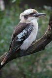Laughing kookaburra (Dacelo novaeguineae). Royalty Free Stock Photo