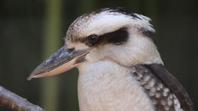 Laughing kookaburra (Dacelo) sitting on a branch on green backgro Stock Photo