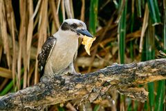 Laughing Kookaburra with fish Royalty Free Stock Photography