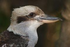 Kookaburra Close Up. The Laughing Kookaburra is instantly recognisable in both plumage and voice. It is generally off-white below, faintly barred with dark brown Royalty Free Stock Photos