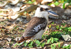 Laughing kookaburra / kingfisher,mackay,australia. Australian laughing kookaburra or kingfisher on jungle floor, mackay, queensland, australia Royalty Free Stock Photos