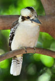 Laughing kookaburra / kingfisher,mackay,australia. Australian laughing kookaburra or kingfisher on branch, mackay, queensland, australia Royalty Free Stock Photo