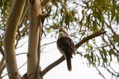 Laughing Kookaburra, largest kingfisher bird in brown perching n Royalty Free Stock Image