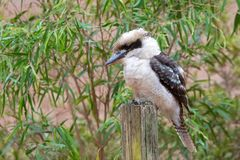 Laughing Kookaburra, largest kingfisher bird in brown perching on wooden pole in Western Australia. Dacelo novaeguineae stock images