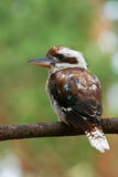 Laughing Kookaburra perched on a branch. Wild Laughing Kookaburra perched on a tree branch Royalty Free Stock Photos