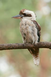 Laughing Kookaburra perched on a branch. Wild Laughing Kookaburra perched on a tree branch Royalty Free Stock Photo