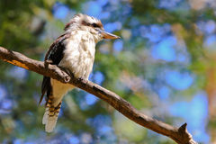 Laughing Kookaburra perched on a branch. Stock Image