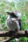 Laughing Kookaburra Perched on a Tree Branch Royalty Free Stock Photography
