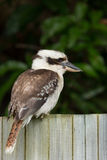 Laughing Kookaburra Stock Images