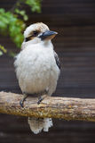 Laughing Kookaburra Portrait 1 Stock Photos