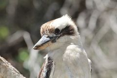The Laughing Kookaburra sits in a tree at Forresters Beach. royalty free stock photography