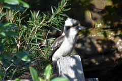 A laughing kookaburra Stock Images