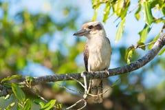 Laughing Kookaburra sitting in a tree, Australia Stock Photography