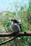 Laughing Kookaburra Sitting on a Tree Branch Stock Photo
