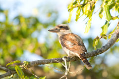 Laughing Kookaburra sitting in a tree, Daintree National Park, Queensland Royalty Free Stock Photo