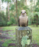 Laughing Kookaburra sitting on wooden pole Royalty Free Stock Photo