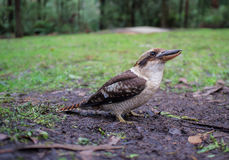 Laughing Kookaburra standing on the ground Stock Image