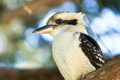 Laughing kookaburra in a tree. Australian Laughing Kookaburra bird in a tree Stock Photography