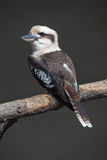 Laughing kookaburra & x28;Dacelo novaeguineae& x29;. Royalty Free Stock Photos