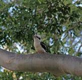 Laughing Kookaburras. Laughing Kookaburra perched on a tree in Advancetown Australia Stock Image