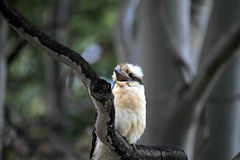 Laughing Kookaburras. Laughing Kookaburra perched on a tree in Advancetown Australia Royalty Free Stock Images