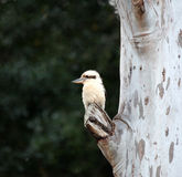 Laughing Kookaburras. Laughing Kookaburra perched on a tree in Advancetown Australia Stock Images