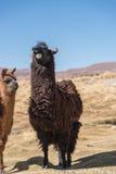 Laughing llama Stock Photos