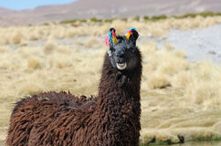 Laughing llama Stock Photo