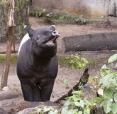 Laughing Malayan tapir Royalty Free Stock Photo