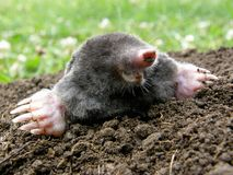 Laughing mole. Crawling out of molehill royalty free stock photo