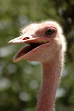 Laughing ostrich Stock Images