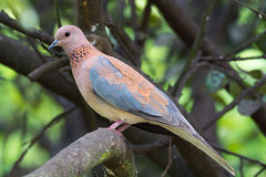 Laughing Palm Dove Royalty Free Stock Photo