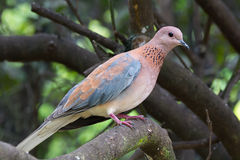 Laughing Palm Dove Stock Photography